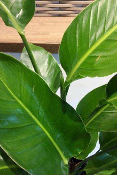 京都 観葉植物 ストレリチア・オーガスター(中型サイズ)