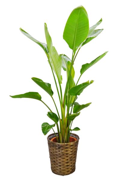 京都 観葉植物 ストレリチア・オーガスター(大型サイズ)