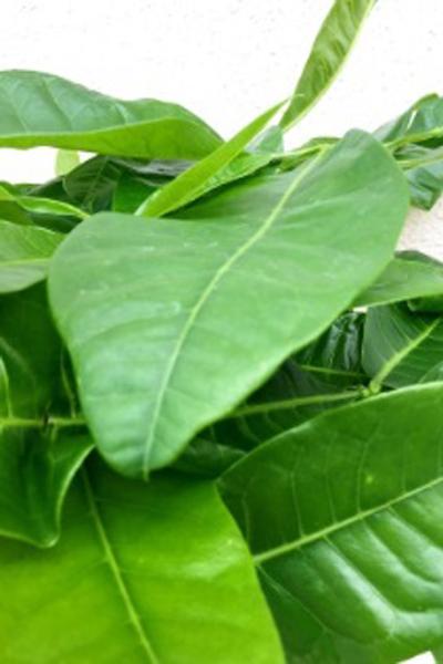 京都 観葉植物 パキラ(中型サイズ)