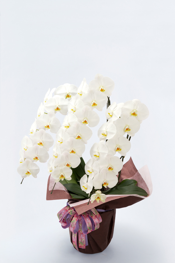 【産地直送】京都 はんなり胡蝶蘭(白大輪) 3本立 梅