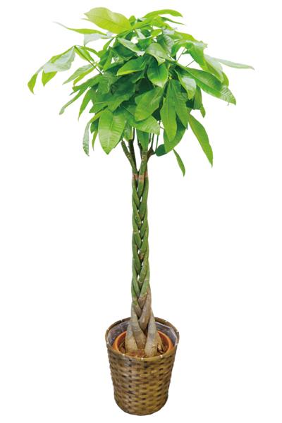 京都 観葉植物 パキラ(大型サイズ)
