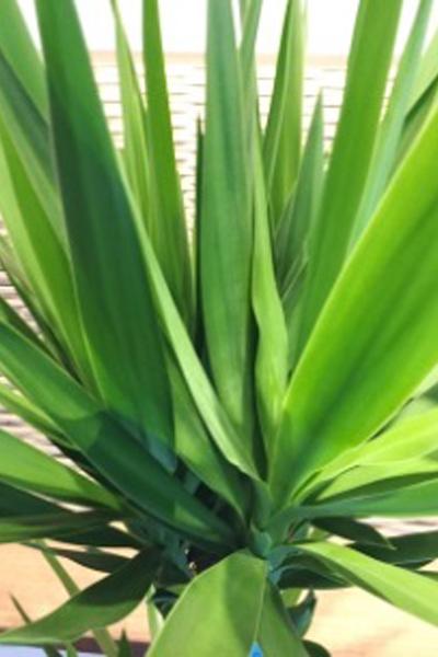 京都 観葉植物 ユッカ(中型サイズ)