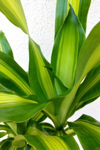 京都 観葉植物 ドラセナ マッサンゲアナ(中型サイズ)