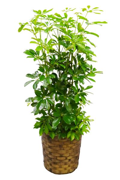 京都 観葉植物 カポック(シェフレラ)(中型サイズ)