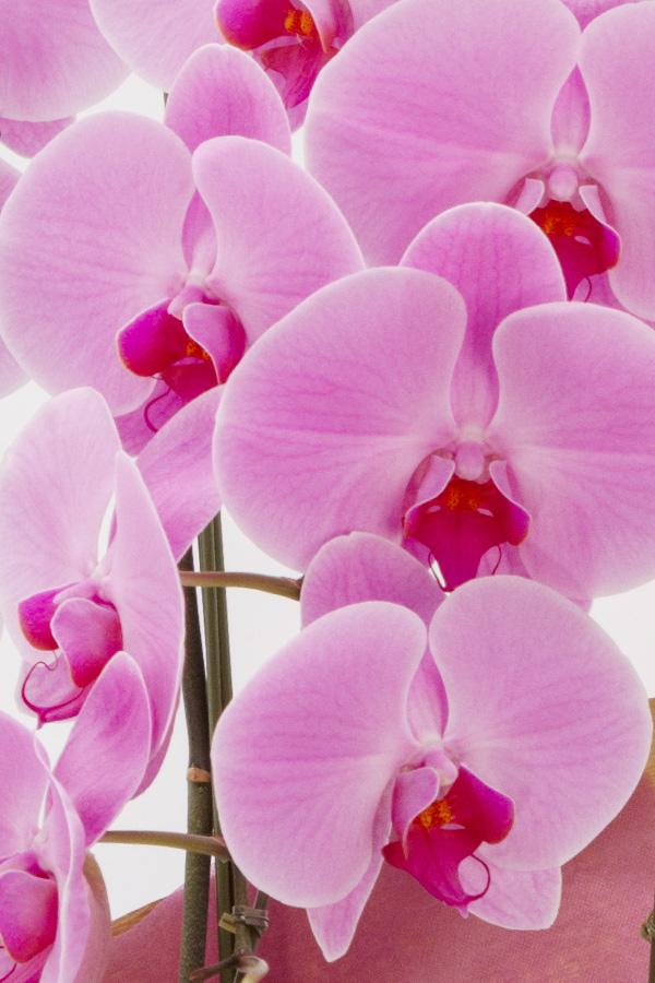 【産地直送】京都 はんなり胡蝶蘭(ピンク大輪) 3本立 梅