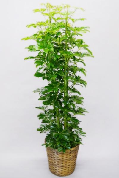 京都 観葉植物 カポック(シェフレラ)(大型サイズ)