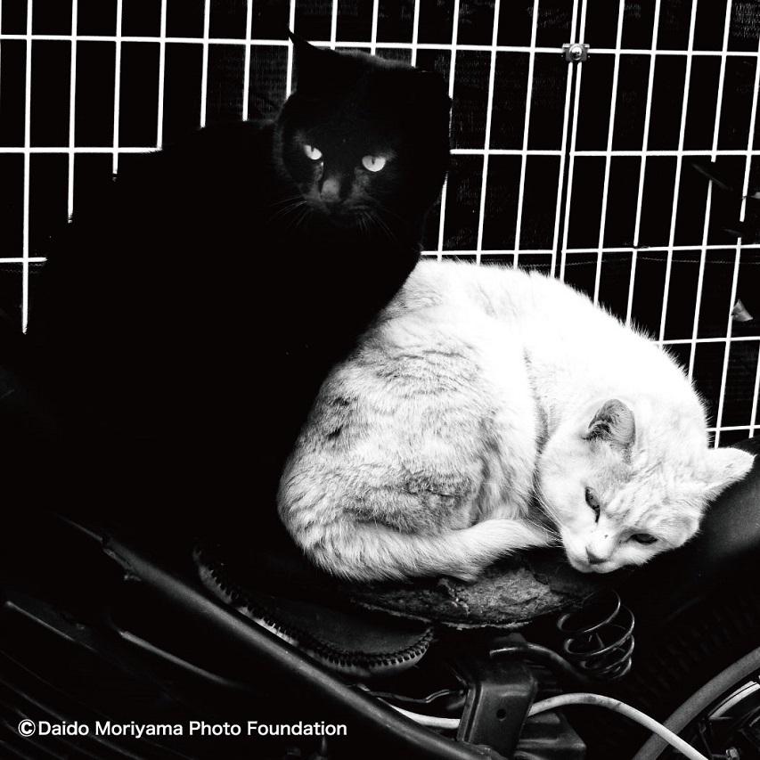 DAIDOMORIYAMA×FlowerMOUNTAIN PAMPAS Cats FM03311