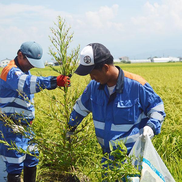 農薬・化学肥料不使用|あぐり米「コシヒカリ」
