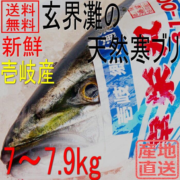 天然 寒ブリ 嫁ブリ 長崎県壱岐産 7kg〜7.9kg