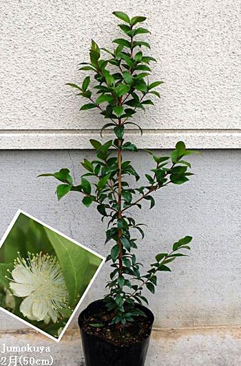 ギンバイカ(マートル)【常緑】0.5m内外