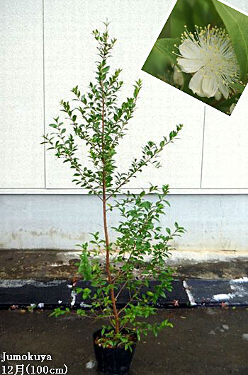 ギンバイカ(マートル)【常緑】0.8-1.0m内外