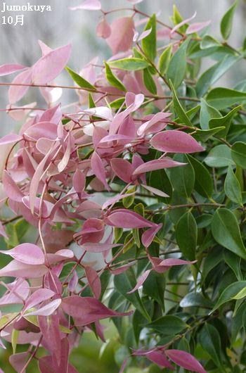 シジギウム:ルーマニー単木【常緑】1.2m内外