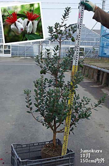 フェイジョア単木【常緑】1.5m内外