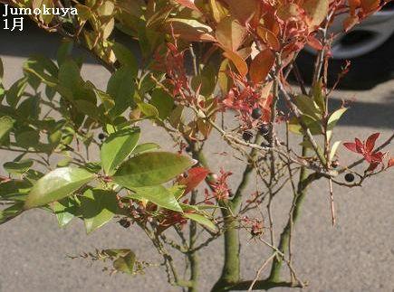 シャシャンボ【常緑】0.7m内外