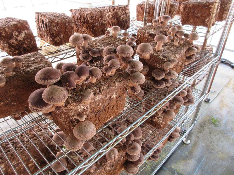 新潟県産 乾燥しいたけ(菌床栽培)3パックセット