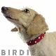 S スターデニムカラー【BIRDIE(バーディ)小型犬用ワンタッチバックル首輪】