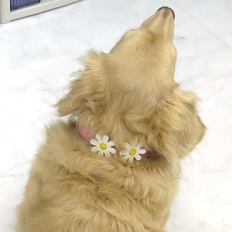 23 マーガレットレザーカラー【BIRDIE小型犬革首輪】