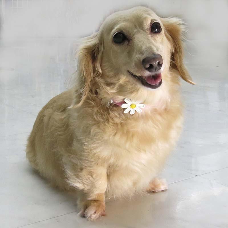 28 マーガレットレザーカラー【BIRDIE小型犬革首輪】
