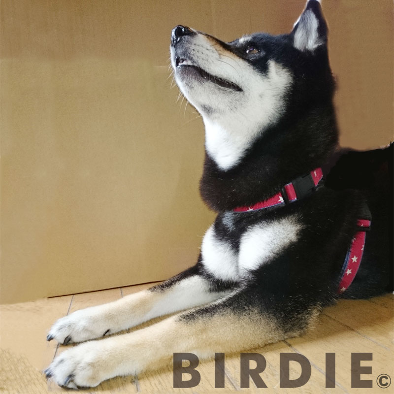 L スターデニムIDハーネス【BIRDIE中型犬迷子防止ワンタッチバックル胴輪】