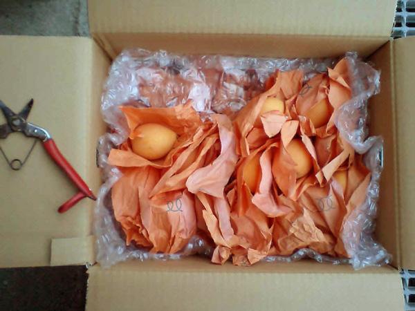 【無肥料・自然栽培】枇杷(ビワ)1.5kg(約25玉入り)【産地直送】【送料込】