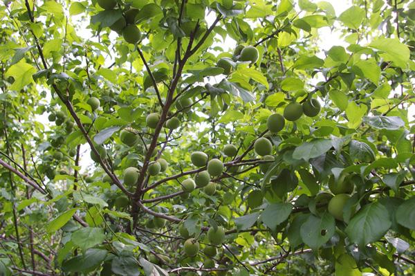 【無肥料・自然栽培】南高梅の青梅1kg[和歌山県:大住清一さん]【v1000】