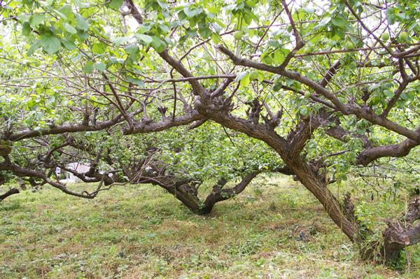 【無肥料・自然栽培】南高梅の青梅1kg[和歌山県:大住清一さん]【v1000】※6月上旬〜