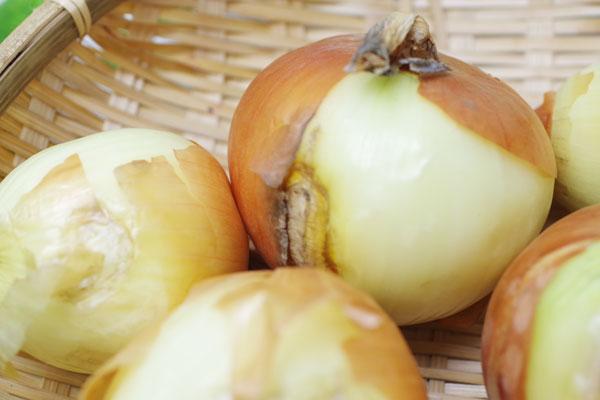 【無肥料・自然栽培】玉ねぎ5kg 皮むけや変形の訳あり品[北海道:瀬野雅人【v1000】