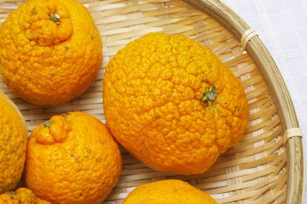 【無肥料・自然栽培】不知火(デコポン)1kg 芳醇な薫りで酸味と甘みがベストバランスの柑橘[広島県:国広自然栽培農園]【v1000】
