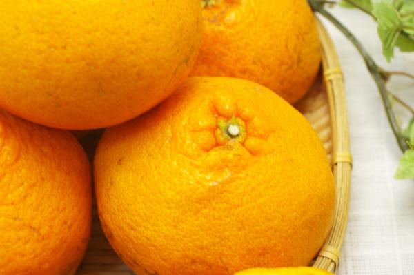 【無肥料・自然栽培】はるみ5kg 芳醇なな薫りとさわやかな酸味の柑橘[広島県:国広自然栽培農園]【v5000】