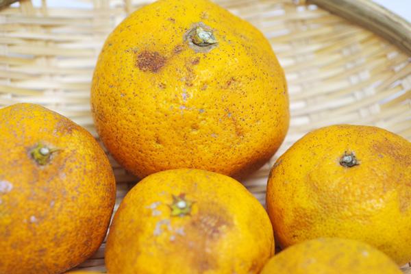 【無肥料・自然栽培】清見(きよみ)オレンジ1kg[広島県:国広自然栽培農園]【v1000】※訳あり品