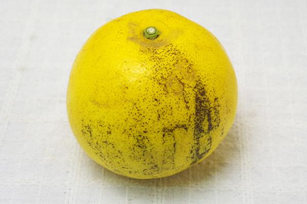 【無肥料・自然栽培】グレープフルーツ1玉[熊本県:からたち]【v500】
