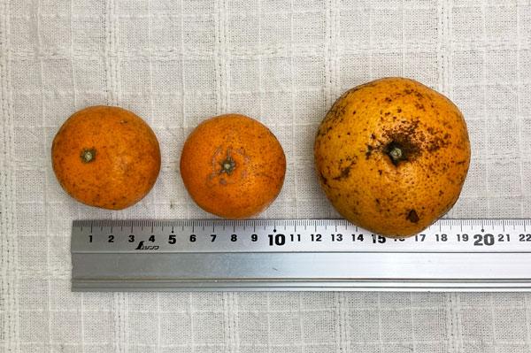 【無肥料・自然栽培】温州ミカン1kg[熊本県:海乃蛙自然農園]【v1000】