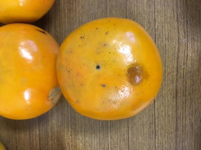 【無肥料・自然栽培】柿1kg(訳あり)[和歌山県:かたやま農園]【11月4日(月)入荷分】