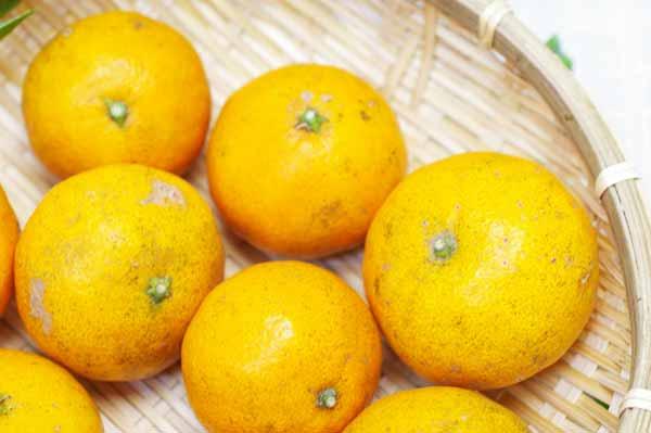 【無肥料・自然栽培】カラマンダリン1kg 長期樹上熟成オレンジのような春みかん[広島県:国広自然栽培農園]