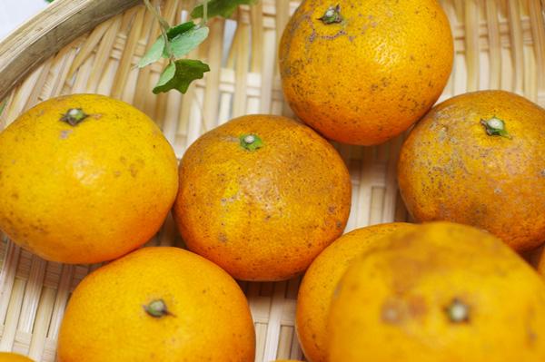 【無肥料・自然栽培】カラマンダリン1kg【訳あり品】 長期樹上熟成オレンジのような春みかん[広島県:国広自然栽培農園]