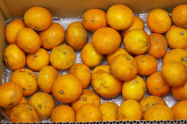 【無肥料・自然栽培】カラマンダリン3kg【訳あり品】 長期樹上熟成オレンジのような春みかん[広島県:国広自然栽培農園]