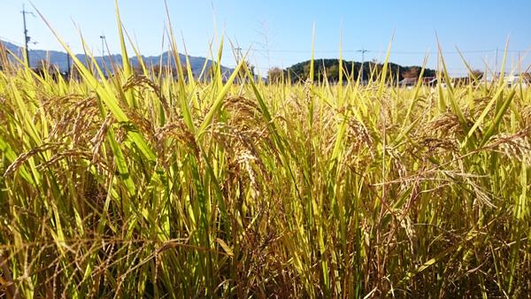 無肥料・自然栽培米 ヒノヒカリ3kg(玄米)[和歌山県:かたやま農園]【平成27年度米】