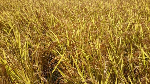 無肥料・自然栽培米 ヒノヒカリ30kg(玄米)[和歌山県:かたやま農園]【平成27年度米】