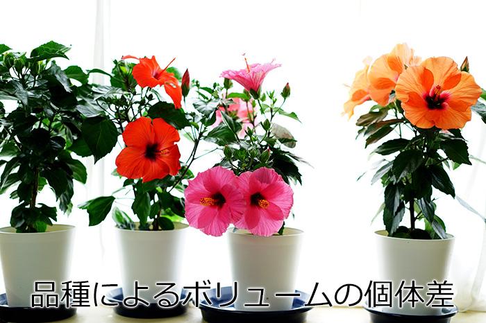 【take】長く咲く「アリオン」5号鉢 同梱4鉢までOK!ハイビスカス ロングライフシリーズ【ラッピング不可・メッセージカード・代引き不可】