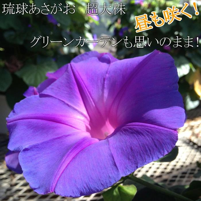 【送料無料】でっかい琉球あさがお(朝顔 アサガオ) 6寸 1鉢 宿根するから毎年咲きます!昼間も咲いちゃうスーパーあさがお!ブルーが涼しげ!【ラッピング・メッセージカード不可】