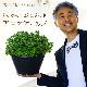 どっかん!ぷにぷに♪香りの食べられるハーブ アロマティカス 9号大鉢植え【ラッピング・メッセージカード・代引不可】