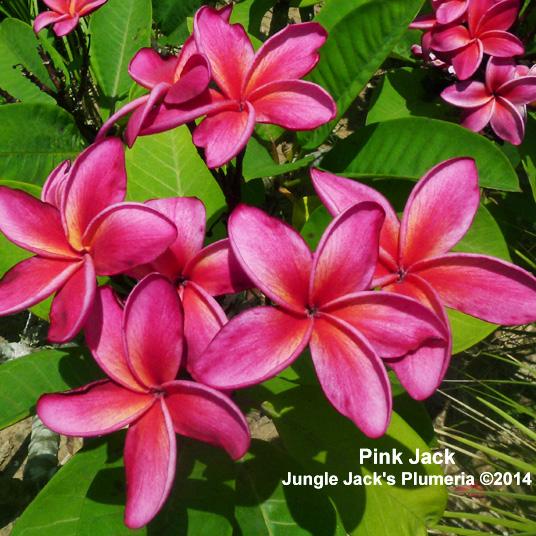 プルメリア 苗 ピンクジャック Pink Juck 5寸 1鉢 苗木 産地直送 タイのジャングルジャックス社の信頼のブランドです! 鉢植え 未開花株 ハイワイアンレイフラワー フランジパニ