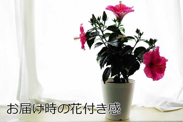 【take】長く咲く「メデューサ/八重咲き」5号鉢 同梱4鉢までOK!ハイビスカス ロングライフシリーズ【ラッピング不可・メッセージカード・代引き不可】