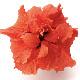 【take】長く咲く「アドニス ダブルオレンジ/八重咲き」5号鉢 同梱4鉢までOK!ハイビスカス ロングライフシリーズ【ラッピング不可・メッセージカード・代引き不可】