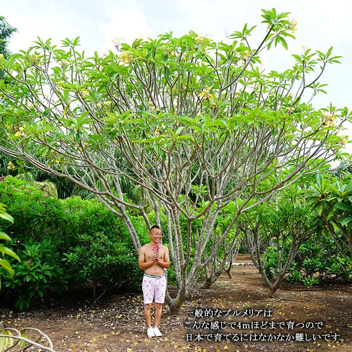 プルメリア 苗 クイックシルバー Quicksilver 5寸 1鉢 苗木 産地直送 タイのジャングルジャックス社の信頼のブランドです! 鉢植え 未開花株 ハイワイアンレイフラワー フランジパニ