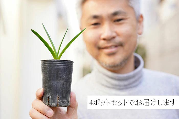 【送料無料】本物のイングリッシュブルーベル 2.5寸 4ポットセット イギリスのナーセリーから取り寄せた正真正銘の逸品!横山園芸さんの芽出し苗をお届けします!