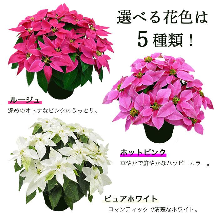 プリンセチア(ピンクのポインセチア)5号鉢5色から選べます【メッセージカード・バスケットラッピング可能】【寒冷地(北海道・東北・長野ほか)へのお届け不可】