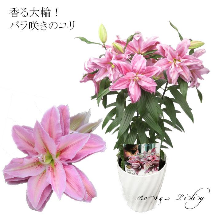 【産地直送】バラ咲き大輪ユリ「ローズリリー」の鉢植え 豪華な3本立ち 大きめ6号鉢でお届けします!2021母の日高級ギフト