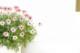 【送料無料】希少 ローダンセマム プリコットジャム 8号大株 2年株 花がいっぱい咲きます! 多年草【ラッピング・メッセージカード不可】