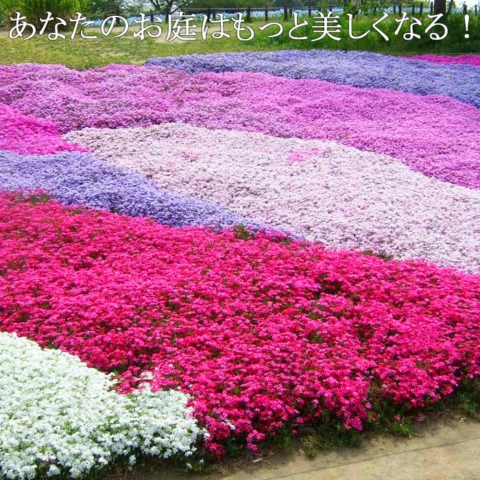 送料無料 全7色 【12苗セット】芝桜 シバザクラ 虹色カーペット 3.5号ポット